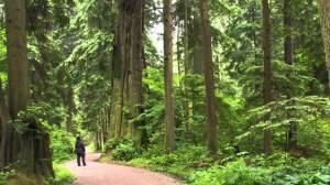 stanley park trees 2